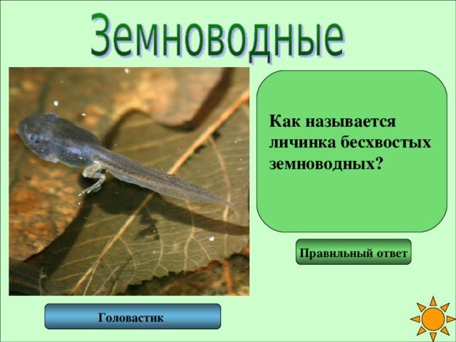 Как называется личинка бесхвостых земноводных?  Правильный ответ Головастик