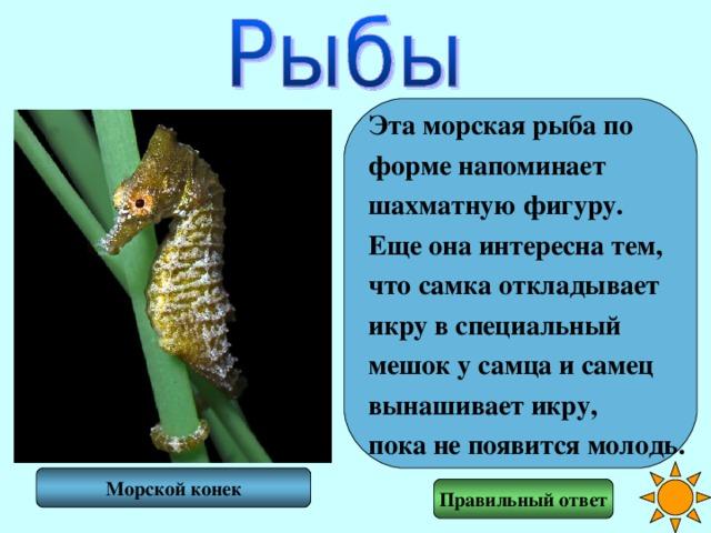 Эта морская рыба по форме напоминает шахматную фигуру. Еще она интересна тем, что самка откладывает икру в специальный мешок у самца и самец вынашивает икру, пока не появится молодь. Морской конек Правильный ответ