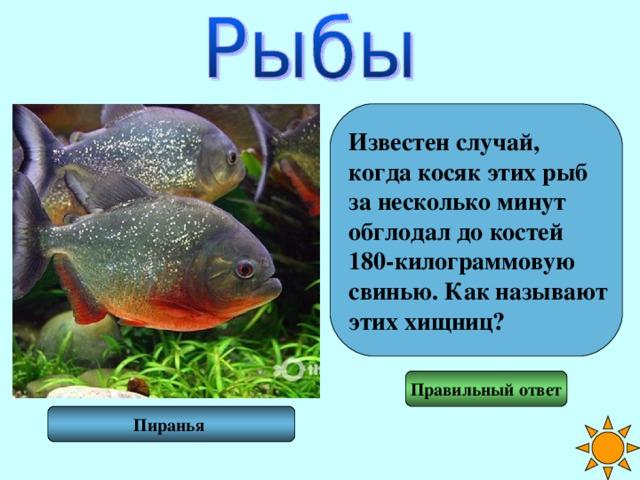 Известен случай, когда косяк этих рыб за несколько минут обглодал до костей 180-килограммовую свинью. Как называют этих хищниц? Правильный ответ Пиранья