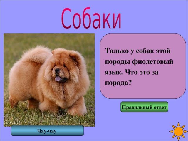 Только у собак этой породы фиолетовый язык. Что это за порода? Правильный ответ Чау-чау