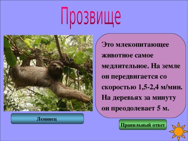 Это млекопитающее животное самое медлительное. На земле он передвигается со скоростью 1,5-2,4 м/мин. На деревьях за минуту он преодолевает 5 м. Ленивец Правильный ответ