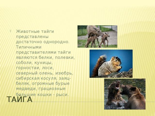 Животные тайги представлены достаточно однородно. Типичными представителями тайги являются белки, полевки, соболи, куницы, горностаи, лоси, северный олень, изюбрь, сибирская косуля, заяц-беляк, огромныебурые медведи, грациозные большие кошки - рыси .
