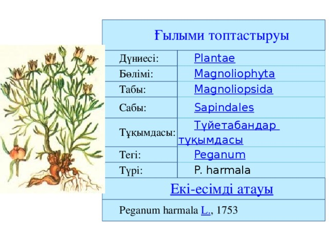 Дүниесі: Бөлімі: Табы: Сабы: Тұқымдасы: Тегі: Түрі: P. harmala Peganum harmala L. , 1753