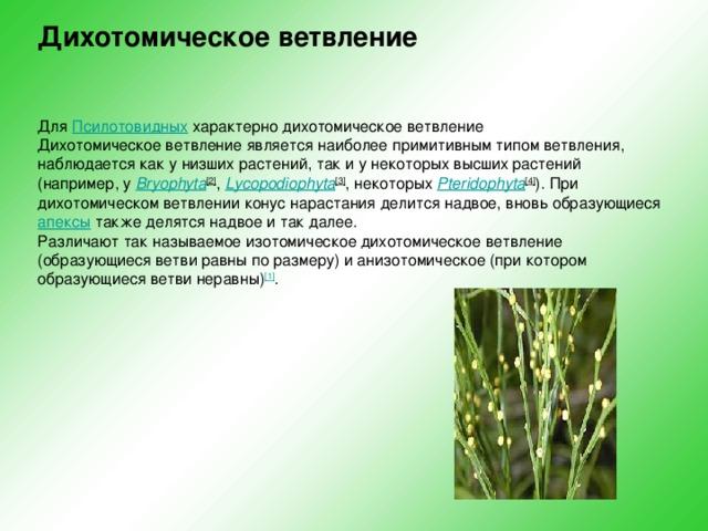Дихотомическое ветвление     Для Псилотовидных характерно дихотомическое ветвление  Дихотомическое ветвление является наиболее примитивным типом ветвления, наблюдается как у низших растений, так и у некоторых высших растений (например, у Bryophyta [2] , Lycopodiophyta [3] , некоторых Pteridophyta [4] ). При дихотомическом ветвлении конус нарастания делится надвое, вновь образующиеся апексы также делятся надвое и так далее.  Различают так называемое изотомическое дихотомическое ветвление (образующиеся ветви равны по размеру) и анизотомическое (при котором образующиеся ветви неравны) [1] .