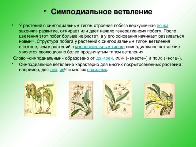 Симподиальное ветвление  У растений с симподиальным типом строения побега верхушечная почка , закончив развитие, отмирает или дает начало генеративному побегу. После цветения этот побег больше не растет, а у его основания начинает развиваться новый [6] . Структура побега у растений с симподиальным типом ветвления сложнее, чем у растений с моноподиальным типом ; симподиальное ветвление является эволюционно более продвинутым типом ветвления.  Слово «симподиальный» образовано от др.-греч . συν-(«вместе») иπούς(«нога»). Симподиальное ветвление характерно для многих покрытосеменных растений: например, для лип , ив [7] и многих орхидных
