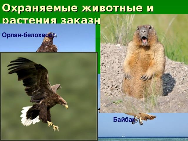 Охраняемые животные и растения заказника: Орлан-белохвост Орел-могильник Беркут Байбак