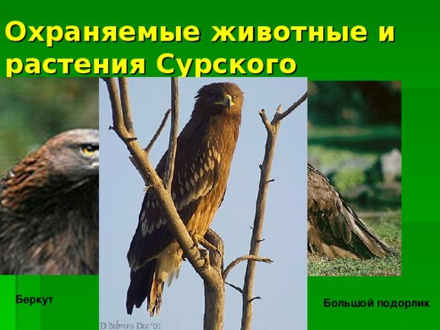 Охраняемые животные и растения Сурского заказника: Беркут Черный гриф Большой подорлик