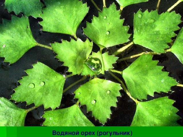 Краснокнижные растения Сурского заказника Венерин башмачок настоящий Ятрышник шлемоносный Водяной орех (рогульник)