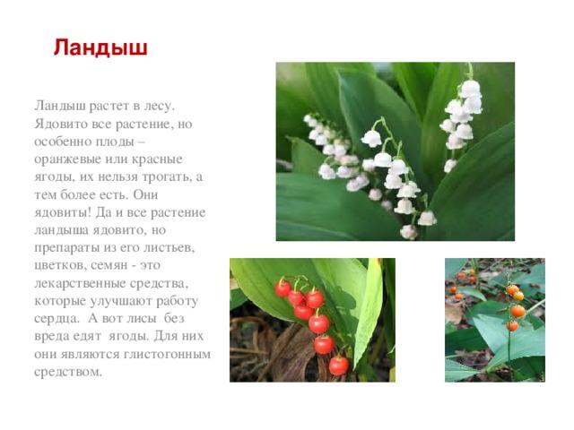 Ландыш Ландыш растет в лесу. Ядовито все растение, но особенно плоды – оранжевые или красные ягоды, их нельзя трогать, а тем более есть. Они ядовиты! Да и все растение ландыша ядовито, но препараты из его листьев, цветков, семян - это лекарственные средства, которые улучшают работу сердца. А вот лисы без вреда едят ягоды. Для них они являются глистогонным средством.