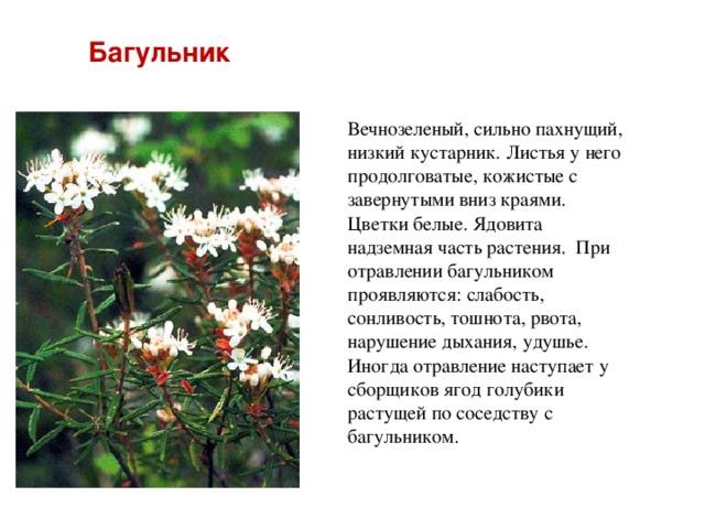 Багульник Вечнозеленый, сильно пахнущий, низкий кустарник. Листья у него продолговатые, кожистые с завернутыми вниз краями. Цветки белые. Ядовита надземная часть растения. При отравлении багульником проявляются: слабость, сонливость, тошнота, рвота, нарушение дыхания, удушье. Иногда отравление наступает у сборщиков ягод голубики растущей по соседству с багульником.