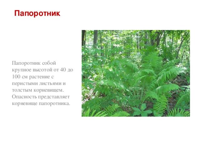 Папоротник Папоротник собой крупное высотой от 40 до 100 см растение с перистыми листьями и толстым корневищем. Опасность представляет корневище папоротника.