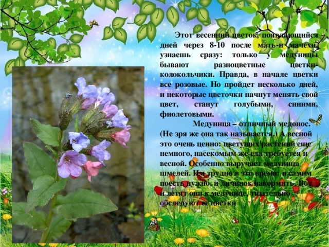 Этот весенний цветок, появляющийся дней через 8-10 после мать-и мачехи, узнаешь сразу: только у медуницы бывают разноцветные цветки-колокольчики. Правда, в начале цветки все розовые. Но пройдет несколько дней, и некоторые цветочки начнут менять свой цвет, станут голубыми, синими, фиолетовыми.  Медуница – отличный медонос. (Не зря же она так называется.) А весной это очень ценно: цветущих растений еще немного, насекомым же еда требуется и весной. Особенно выручает медуница шмелей. Им трудно в это время: и самим поесть нужно, и личинок накормить. Вот и летят они к медунице, тщательно обследуют ее цветки