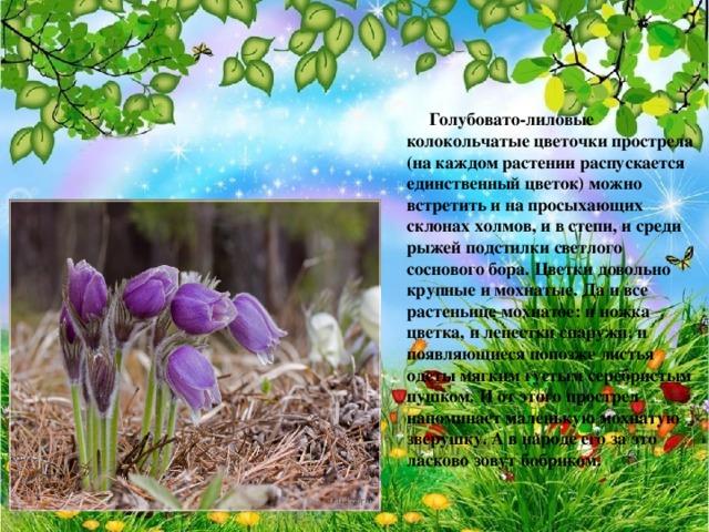 Голубовато-лиловые колокольчатые цветочки прострела (на каждом растении распускается единственный цветок) можно встретить и на просыхающих склонах холмов, и в степи, и среди рыжей подстилки светлого соснового бора. Цветки довольно крупные и мохнатые. Да и все растеньице мохнатое: и ножка цветка, и лепестки снаружи, и появляющиеся попозже листья одеты мягким густым серебристым пушком. И от этого прострел напоминает маленькую мохнатую зверушку. А в народе его за это ласково зовут бобриком.