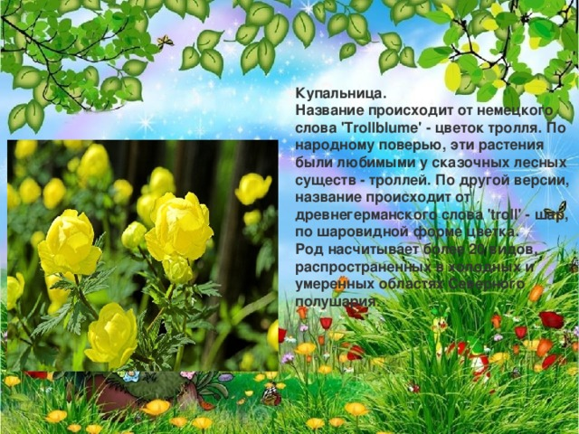 Купальница.  Название происходит от немецкого слова 'Trollblume' - цветок тролля. По народному поверью, эти растения были любимыми у сказочных лесных существ - троллей. По другой версии, название происходит от древнегерманского слова 'troll' - шар, по шаровидной форме цветка.  Род насчитывает более 20 видов, распространенных в холодных и умеренных областях Северного полушария.