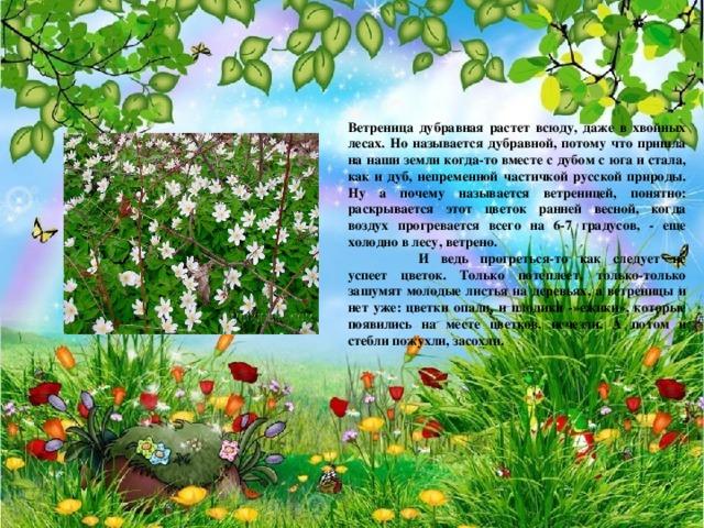 Ветреница дубравная растет всюду, даже в хвойных лесах. Но называется дубравной, потому что пришла на наши земли когда-то вместе с дубом с юга и стала, как и дуб, непременной частичкой русской природы. Ну а почему называется ветреницей, понятно: раскрывается этот цветок ранней весной, когда воздух прогревается всего на 6-7 градусов, - еще холодно в лесу, ветрено.  И ведь прогреться-то как следует не успеет цветок. Только потеплеет, только-только зашумят молодые листья на деревьях, а ветреницы и нет уже: цветки опали, и плодики -»ежики», которые появились на месте цветков, исчезли. А потом и стебли пожухли, засохли.