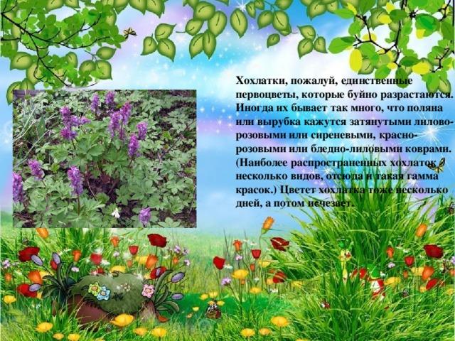 Хохлатки, пожалуй, единственные первоцветы, которые буйно разрастаются. Иногда их бывает так много, что поляна или вырубка кажутся затянутыми лилово-розовыми или сиреневыми, красно-розовыми или бледно-лиловыми коврами. (Наиболее распространенных хохлаток несколько видов, отсюда и такая гамма красок.) Цветет хохлатка тоже несколько дней, а потом исчезает.