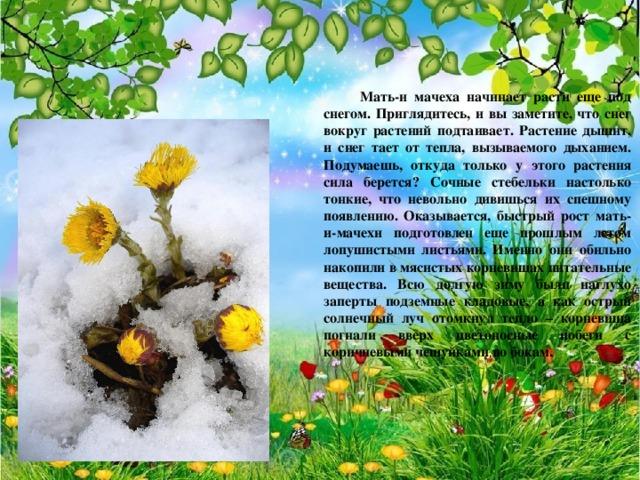 Мать-и мачеха начинает расти еще под снегом. Приглядитесь, и вы заметите, что снег вокруг растений подтаивает. Растение дышит, и снег тает от тепла, вызываемого дыханием. Подумаешь, откуда только у этого растения сила берется? Сочные стебельки настолько тонкие, что невольно дивишься их спешному появлению. Оказывается, быстрый рост мать-и-мачехи подготовлен еще прошлым летом лопушистыми листьями. Именно они обильно накопили в мясистых корневищах питательные вещества. Всю долгую зиму были наглухо заперты подземные кладовые, а как острый солнечный луч отомкнул тепло – корневища погнали вверх цветоносные побеги с коричневыми чешуйками по бокам.