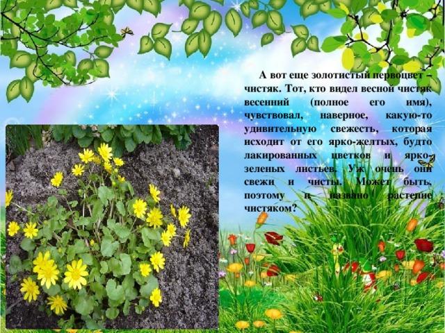 А вот еще золотистый первоцвет – чистяк. Тот, кто видел весной чистяк весенний (полное его имя), чувствовал, наверное, какую-то удивительную свежесть, которая исходит от его ярко-желтых, будто лакированных цветков и ярко-зеленых листьев. Уж очень они свежи и чисты. Может быть, поэтому и названо растение чистяком?