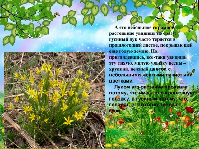 А это небольшое скромное растеньице увидишь не сразу: гусиный лук часто теряется в прошлогодней листве, покрывающей еще голую землю. Но, приглядевшись, все-таки увидишь эту тихую, милую улыбку весны – хрупкий, нежный цветок с небольшими желтыми лучистыми цветками .  Луком это растение прозвали потому, что имеет оно крошечную головку, а гусиным потому, что, говорят, его охотно поедают гуси.