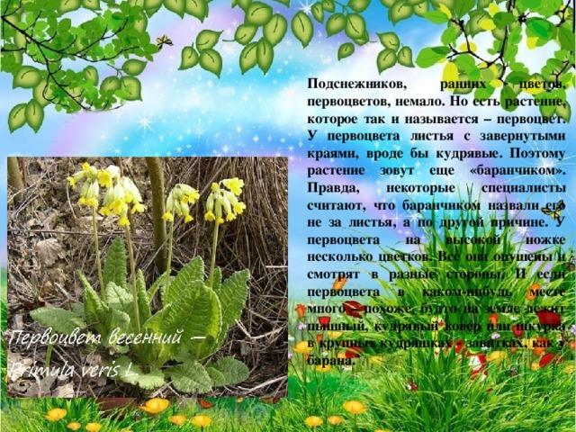 Подснежников, ранних цветов, первоцветов, немало. Но есть растение, которое так и называется – первоцвет. У первоцвета листья с завернутыми краями, вроде бы кудрявые. Поэтому растение зовут еще «баранчиком». Правда, некоторые специалисты считают, что баранчиком назвали его не за листья, а по другой причине. У первоцвета на высокой ножке несколько цветков. Все они опушены и смотрят в разные стороны. И если первоцвета в каком-нибудь месте много – похоже, будто на земле лежит пышный, кудрявый ковер или шкурка в крупных кудряшках - завитках, как у барана.