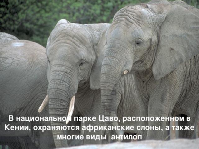 В национальном парке Цаво, расположенном в Кении, охраняются африканские слоны, а также многие виды антилоп