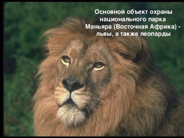 Основной объект охраны национального парка Маньяра (Восточная Африка) - львы, а также леопарды