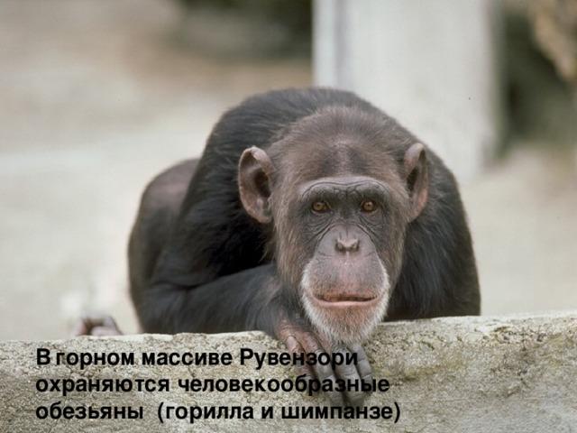 В  горном массиве Рувензори охраняются человекообразные обезьяны (горилла и шимпанзе)