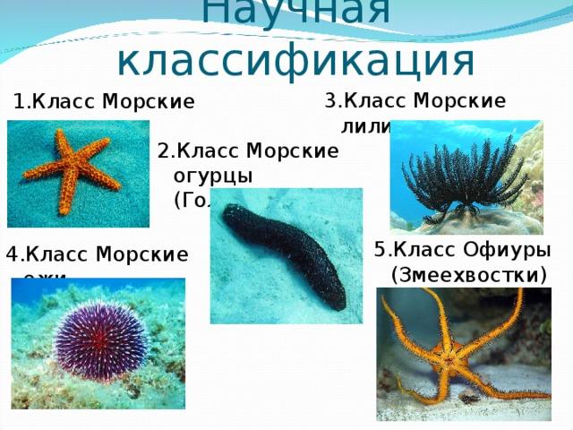Научная классификация 3.Класс Морские лилии 1.Класс Морские звезды 2.Класс Морские огурцы (Голотуриии) 5.Класс Офиуры (Змеехвостки) 4.Класс Морские ежи