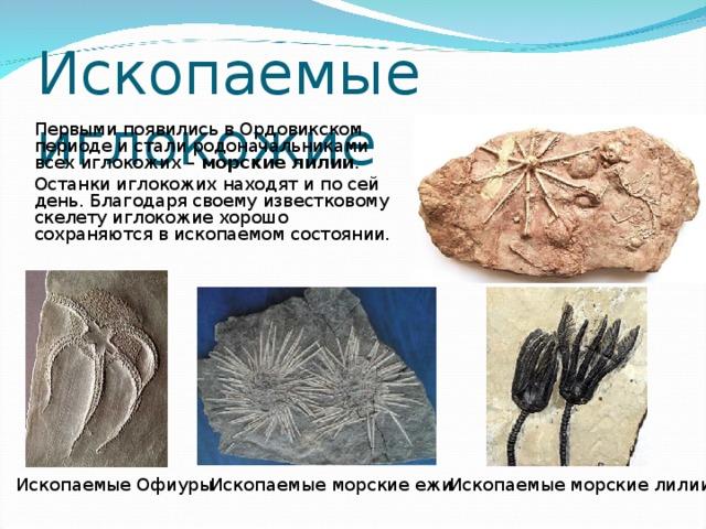 Ископаемые иглокожие  Первыми появились в Ордовикском периоде и стали родоначальниками всех иглокожих – морские лилии .  Останки иглокожих находят и по сей день. Благодаря своему известковому скелету иглокожие хорошо сохраняются в ископаемом состоянии. Ископаемые морские лилии Ископаемые Офиуры Ископаемые морские ежи