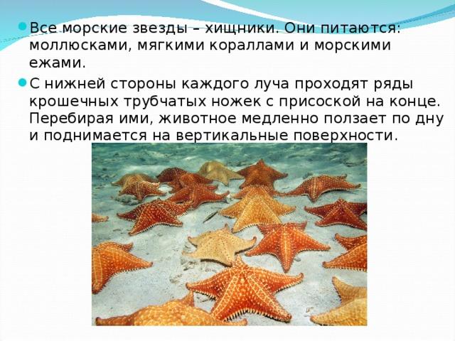 Все морские звезды – хищники. Они питаются: моллюсками, мягкими кораллами и морскими ежами. С нижней стороны каждого луча проходят ряды крошечных трубчатых ножек с присоской на конце. Перебирая ими, животное медленно ползает по дну и поднимается на вертикальные поверхности.