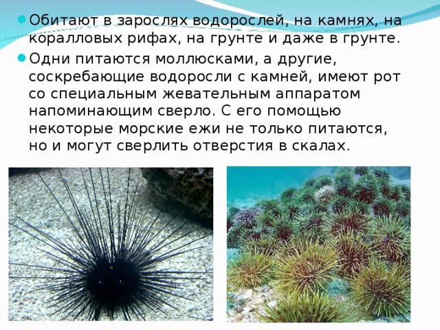 Обитают в зарослях водорослей, на камнях, на коралловых рифах, на грунте и даже в грунте. Одни питаются моллюсками, а другие, соскребающие водоросли с камней, имеют рот со специальным жевательным аппаратом напоминающим сверло. С его помощью некоторые морские ежи не только питаются, но и могут сверлить отверстия в скалах.