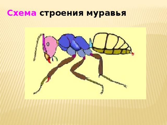 Схема строения муравья