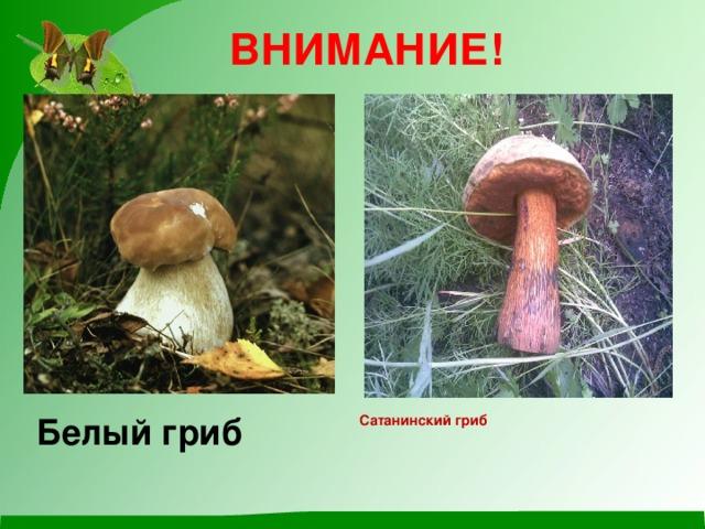 ВНИМАНИЕ! Белый гриб  Сатанинский гриб