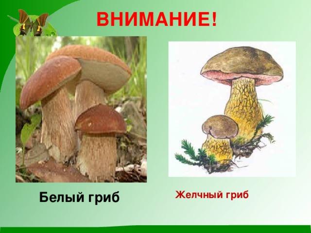 ВНИМАНИЕ!  Белый гриб   Желчный гриб