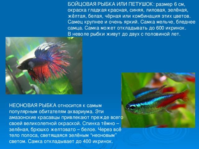 """БОЙЦОВАЯ РЫБКА ИЛИ ПЕТУШОК: размер 6 см, окраска гладкая красная, синяя, лиловая, зелёная, жёлтая, белая, чёрная или комбинация этих цветов. Самец крупнее и очень яркий. Самка мельче, бледнее самца. Самка может откладывать до 600 икринок. В неволе рыбки живут до двух с половиной лет. НЕОНОВАЯ РЫБКА относится к самым популярным обитателям аквариума. Эти амазонские красавцы привлекают прежде всего своей великолепной окраской. Спинка тёмно – зелёная, брюшко желтовато – белое. Через всё тело полоса, светящаяся зелёным """"неоновым"""" светом. Самка откладывает до 400 икринок."""