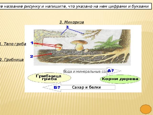 Дайте название рисунку и напишите, что указано на нем цифрами и буквами 3. Микориза 1. Тело гриба 2. Грибница Вода и минеральные соли Сахар и белки