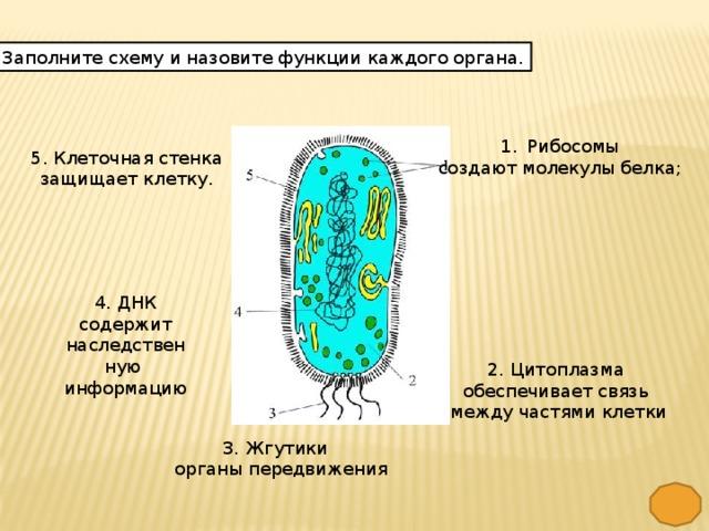 Заполните схему и назовите функции каждого органа. Рибосомы создают молекулы белка; 5. Клеточная стенка защищает клетку. 4. ДНК  содержит наследственную информацию 2. Цитоплазма обеспечивает связь  между частями клетки 3. Жгутики  органы передвижения