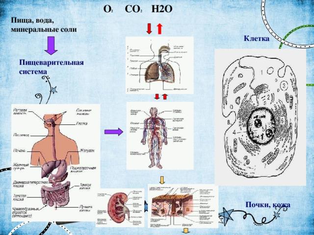 O 2 CO 2 H2O Пища, вода, минеральные соли Клетка Пищеварительная  система Дыхательная система  Почки, кожа