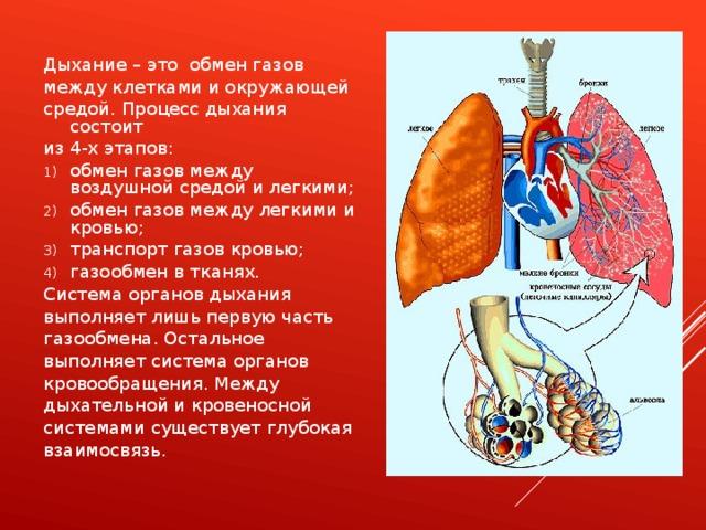Дыхание – это обмен газов между клетками и окружающей средой. Процесс дыхания состоит из 4-х этапов: обмен газов между воздушной средой и легкими; обмен газов между легкими и кровью; транспорт газов кровью; газообмен в тканях. Система органов дыхания выполняет лишь первую часть газообмена. Остальное выполняет система органов кровообращения. Между дыхательной и кровеносной системами существует глубокая взаимосвязь.