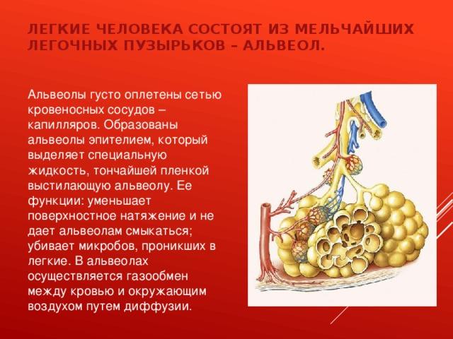 Легкие человека состоят из мельчайших легочных пузырьков – альвеол. Альвеолы густо оплетены сетью кровеносных сосудов – капилляров. Образованы альвеолы эпителием, который выделяет специальную жидкость, тончайшей пленкой выстилающую альвеолу. Ее функции: уменьшает поверхностное натяжение и не дает альвеолам смыкаться; убивает микробов, проникших в легкие. В альвеолах осуществляется газообмен между кровью и окружающим воздухом путем диффузии.