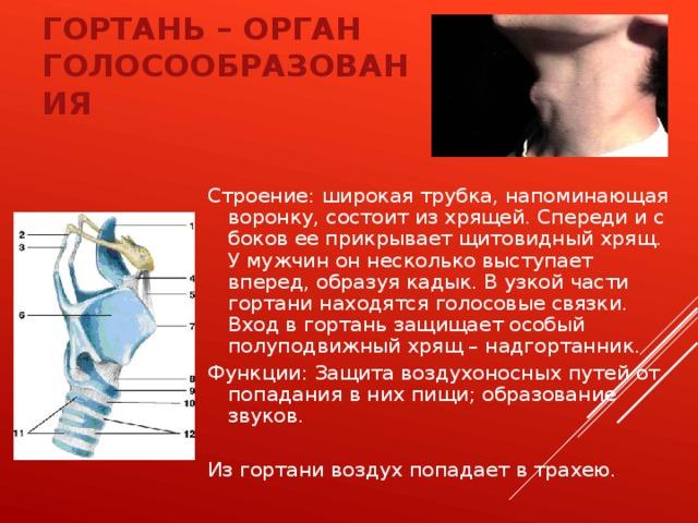 Гортань – орган голосообразования Строение: широкая трубка, напоминающая воронку, состоит из хрящей. Спереди и с боков ее прикрывает щитовидный хрящ. У мужчин он несколько выступает вперед, образуя кадык. В узкой части гортани находятся голосовые связки. Вход в гортань защищает особый полуподвижный хрящ – надгортанник. Функции: Защита воздухоносных путей от попадания в них пищи; образование звуков. Из гортани воздух попадает в трахею.