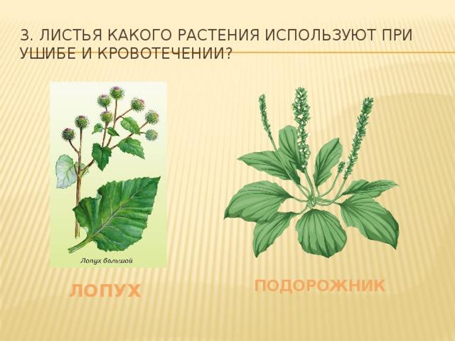 3. Листья какого растения используют при ушибе и кровотечении? подорожник лопух