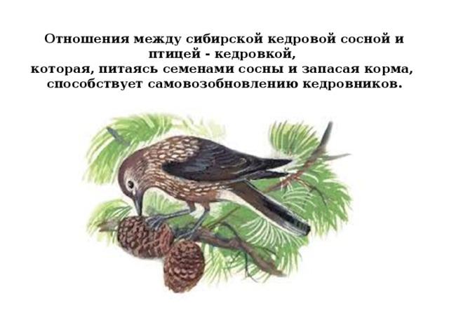 Отношения между сибирской кедровой сосной и птицей - кедровкой,  которая, питаясь семенами сосны и запасая корма,  способствует самовозобновлению кедровников.