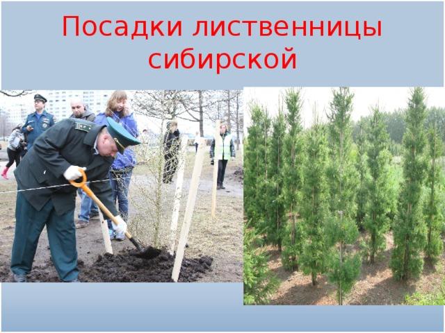 Посадки лиственницы сибирской