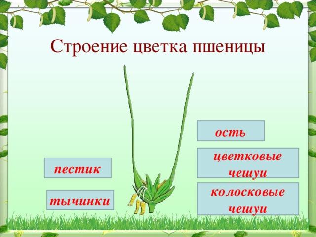 Строение цветка пшеницы ость цветковые чешуи пестик колосковые чешуи тычинки