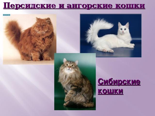 Персидские и ангорские кошки Сибирские кошки