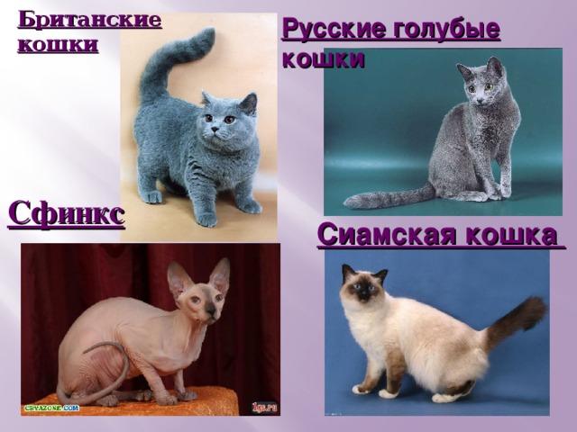 Британские кошки Британские кошки Русские голубые кошки Сфинкс Сиамская кошка