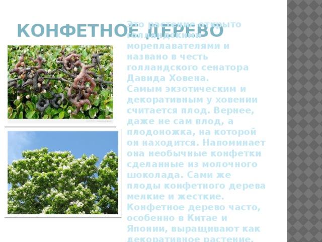 Конфетное дерево Это растение открыто голландскими мореплавателями и названо в честь голландского сенатора Давида Ховена. Самым экзотическим и декоративным у ховении считается плод. Вернее, даже не сам плод, а плодоножка, на которой он находится. Напоминает она необычные конфетки сделанные из молочного шоколада. Сами же плоды конфетного дерева мелкие и жесткие. Конфетное дерево часто, особенно в Китае и Японии, выращивают как декоративное растение.