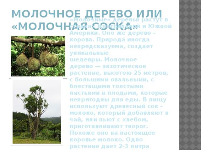 Молочное дерево или «молочная соска» «Молочные» деревья растут в странах Центральной и Южной Америки. Оно же дерево – корова. Природа иногда непредсказуема, создает уникальные шедевры.Молочное дерево—экзотическое растение, высотою 25 метров, с большими овальными, с блестящими толстыми листьями и плодами, которые непригодны для еды. В пищу используют древесный сок - молоко, который добавляют в чай, или пьют с хлебом, приготавливают творог. Похоже оно на настоящее коровье молоко. Одно растение дает 2-3 литра молока за один прием.