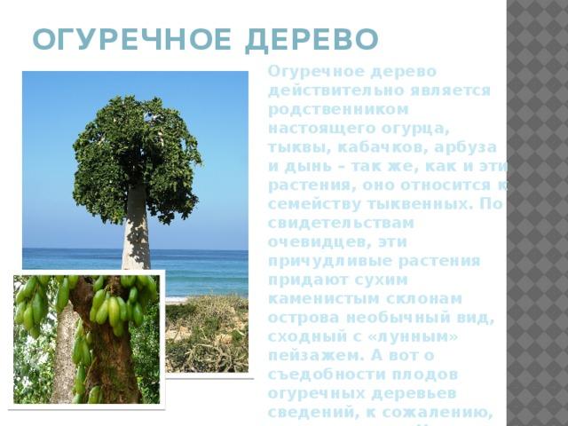 Огуречное дерево   Огуречное дерево действительно является родственником настоящего огурца, тыквы, кабачков, арбуза и дынь – так же, как и эти растения, оно относится к семейству тыквенных. По свидетельствам очевидцев, эти причудливые растения придают сухим каменистым склонам острова необычный вид, сходный с «лунным» пейзажем. А вот о съедобности плодов огуречных деревьев сведений, к сожалению, написано мало. Но известно, что плоды в сыром виде не едят, они очень кислые. Их добавляют в супы, соусы и соленья.